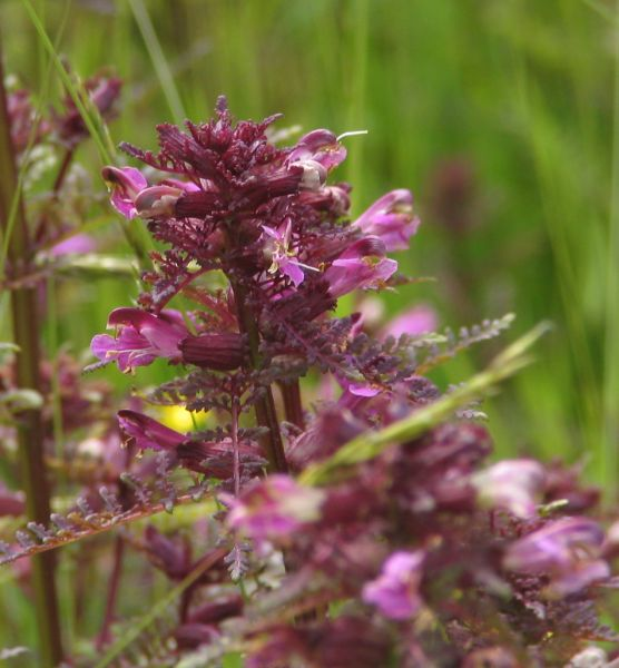 Pedicularis palustris